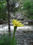 Poudre Canyon and pretty flower
